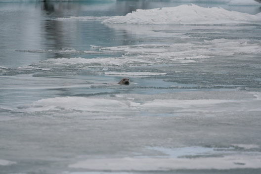 A seal at Jökulsarlon - 2008